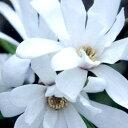 コブシ■良品庭木■ヒメコブシ ロイヤルスター6号