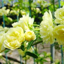 季節の花木 木香バラ■良品庭木■モッコウバラ 黄色1.7Lポット