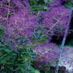 スモークトゥリー■良品庭木■スモークツリー(ケムリノキ)ピンクボール 15cmポット苗