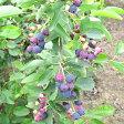 ■良品果樹苗■NEW!赤い実が美しいジューンベリースイートバンビ18cmポット苗