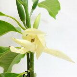 ■季節の花木■香ります!ギンコウボク ミケリア アルバ5号鉢接木苗