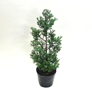 ■良品庭木■コニファーレッドスター5号ポット植え