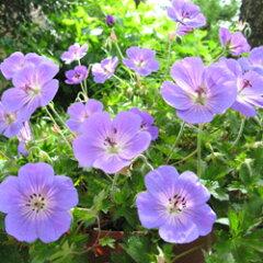 ブルームス バイオレットブルーの美しい花。オフシーズン■イギリス BLOOMSの宿根草■ゲラニ...