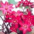 ■宿根草■雪割草 赤花系ユキワリソウ ミスミソウ7.5cmポット苗