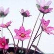 ■宿根草■雪割草 桃花系ユキワリソウ ミスミソウ7.5cmポット苗