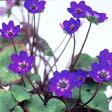 ■宿根草■雪割草 紫花系ユキワリソウ ミスミソウ7.5cmポット苗