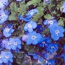 ■宿根草■ 青紫色の花が鮮やか! ベロニカ オックスフォードブルー 9cmポット
