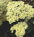 季節の宿根草苗アキレア■イギリス BLOOMSの宿根草■アキレアアンセア