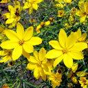 季節の宿根草苗コレオプシス■イギリス BLOOMSの宿根草■コレオプシスゴールドゲイン