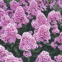 宿根草苗フロックス■イギリス BLOOMSの宿根草■フロックスパニキュラータエバクルーン