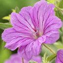 ブルームス 花も葉も美しい植物!オフシーズン■イギリス BLOOMSの宿根草■ゲラニューム ブ...