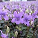 オフシーズン■宿根草■黒葉スミレ紫式部9cmポット
