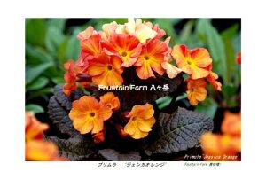 プリムラ■宿根草■ファウンテンファーム八ヶ岳さんの苗プリムラジェシカオレンジ12cmロングポット
