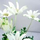 季節の多年草フランネルフラワー■新鮮花壇苗■フランネルフラワーフェアリーホワイト10.5cmポ...