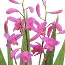 山野草 シラン■宿根草■シラン(紫蘭)9cmポット苗