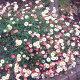丈夫で育てやすい性質!■新鮮花壇苗■エリゲロ...
