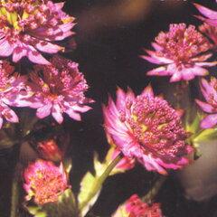 季節の宿根草アストランチャ■宿根草■アストランチャローマ10.5cmポット
