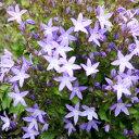 ブルームス 星型の花をあふれるほどに咲かせます!■イギリス BLOOMSの宿根草■カンパニュラ...
