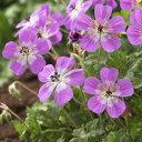 ブルームス ピンクがかる青色の花。オフシーズン■イギリス BLOOMSの宿根草■ゲラニューム ...