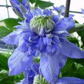 ■宿根草■クレマチス ブルーライトパテンス系 (八重・早咲き大輪系)10.5cmロングポット