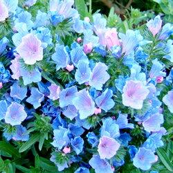 季節の花壇苗エキウム■耐寒性一年草■エキウム ブルガレ9cmポット