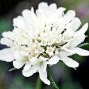 季節の宿根草スカビオサ■宿根草■スカビオサスノーメイデン9cmポット