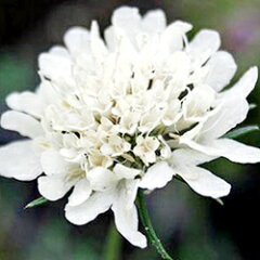 季節の宿根草スカビオサオフシーズン■宿根草■スカビオサスノーメイデン9cmポット