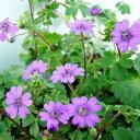 踊るような花!季節の宿根草オフシーズン■宿根草■ゲラニュームシューティングブルー9cmポット