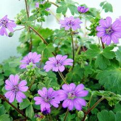踊るような花!季節の宿根草■宿根草■ゲラニュームシューティングブルー9cmポット