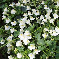 グランドカバーにも!季節の宿根草■宿根草■シンバラリアホワイト9cmポット