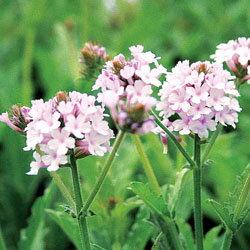 季節の宿根草バーベナ■宿根草■バーベナリギダポラリス10.5cmポット