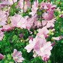 季節の宿根草マローオフシーズン■宿根草■ムスクマロウピンクパーフェクション9cmポット