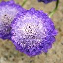 季節の宿根草セイヨウマツムシソウ■宿根草■スカビオサオックスフォードブルー9cmポット