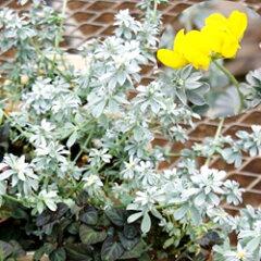 季節の宿根草ロータス■宿根草■ロータスクレティクス9cmポット