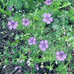 踊るような花!季節の宿根草■宿根草■ゲラニュームビルウォーリス10.5cmポット