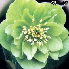 クリスマスローズ■宿根草■松浦園芸さんのクリスマスローズダブルグリーン系12cmロングポット