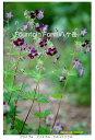 ■宿根草■ファウンテンファーム八ヶ岳さんの苗ゲラニューム ファエウム(黒花フウロ…
