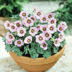 ブルームス 花も葉も美しい植物!【ご予約区分D】■イギリス BLOOMSの宿根草■コンパクトゲラ...