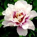 牡丹×芍薬インターセクショナルハイブリット■良品庭木■アメリカ生まれボタンとシャクヤクの...
