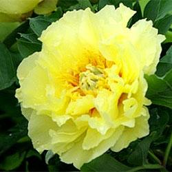 牡丹×芍薬インターセクショナルハイブリット■良品庭木■日本生まれボタンとシャクヤクの一代...