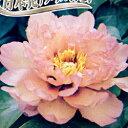 ■良品庭木■アメリカ生まれボタンとシャクヤクの一代交配種コッパー・ケトル6号鉢