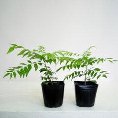 カレーの木、大葉月橘、カラピンチャ■季節のハーブ苗■カレーリーフ3号ポット