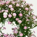 ■母の日ギフト鉢花■ミニバラ 舞姫 リング仕立て 5号オリジナルバスケット入り 本州・四国【送料無料】【早期ご注文で日付指定可】