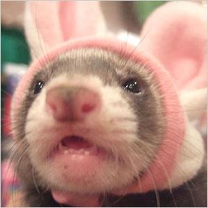 フェレットがいっそう可愛く大変身!【フェレット】fu フェレットアニマル帽子 フェレット/帽...