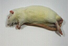 富城物産 冷凍 アダルトラット Mサイズ(約100g~120g) 20匹<冷凍クール便配送> 爬虫類 猛禽類 肉食魚 哺乳類 ヘビ トカゲ フクロウ ハリネズミ【TOMI】