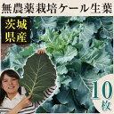 【30%OFF】新鮮な無農薬ケール 10枚【国産】【生葉】【青汁】