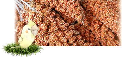 フランス産紅粟の穂
