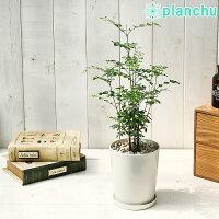 観葉植物シマトネリコ4号鉢受け皿付きFraxinusgriffithii