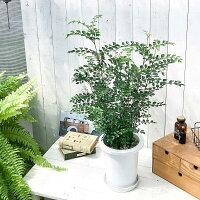 観葉植物シマトネリコ7号鉢受け皿付き育て方説明書付きFraxinusgriffithii苗苗木鉢植え株立ち