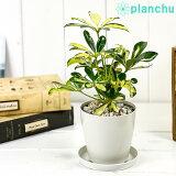 観葉植物 シェフレラ アルボリコラ トリネッティ 3.5号鉢 受け皿付き 育て方説明書付き Schefflera arboricola 'Trinette' ホンコン カポック 斑入り レア